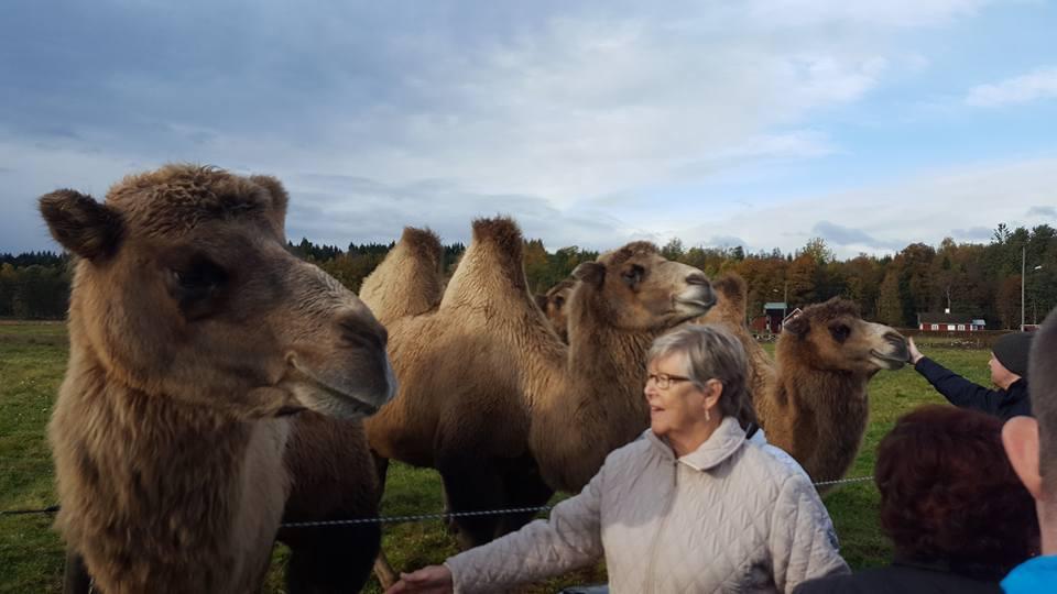 Ordföranden Eivor Baumgarten bekantar sig med kamelerna på Cirkus Olympia i Drängsered
