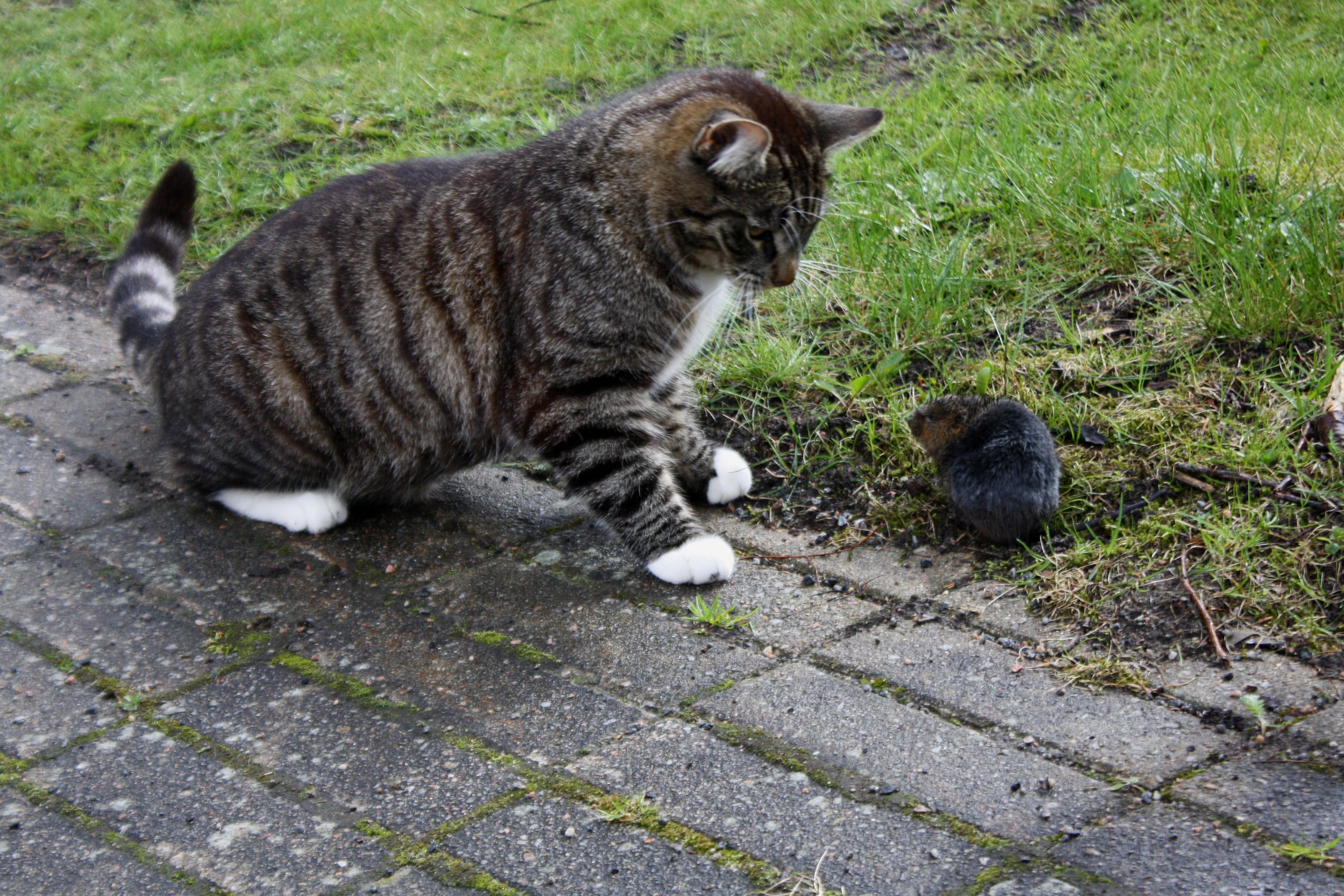 Katt och sork