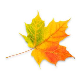 hostlov_1275956_leaf
